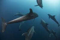 Shoal of Atlantic Bottle Nose Dolphins (Tursiops Truncatus) Socorro Island, Mexico