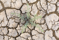 Overhead view of succulent plant and dried cracked mud on floodplain, Djoudj National Park, Senegal