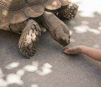 Young boy holding out hand to feed tortoise
