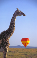 Balloon safari with giraffe in foreground, MaSerena, Masai Mara National Reserve, Kenya