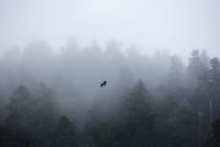 Eagle flying over misty forest