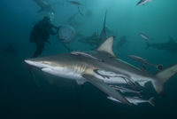 Diver and Oceanic Blacktip sharks (carcharhinus limbatus) gathering at Aliwal Shoal, Durban, South Africa