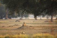 Lionesses (Panthera leo), rear view, Mana Pools National Park, Zimbabwe
