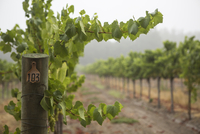 Rows of grapevines in vineyard, Sebastapol, California, USA