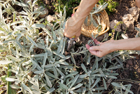 Mature woman gardening, cutting plant with secateurs, low section