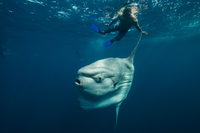 Underwater view of mola mola, ocean sunfish and local fisherman, Magadalena bay, Baja California, Mexico 11015269958| 写真素材・ストックフォト・画像・イラスト素材|アマナイメージズ