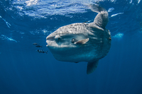 Underwater view of mola mola, ocean sunfish, Magadalena bay, Baja California, Mexico