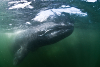 Underwater view of grey whale looking at camera, Magadalena bay, Baja California, Mexico