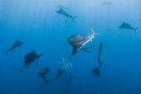 Underwater view of group of sailfish corralling sardine shoal, Contoy Island, Quintana Roo, Mexico