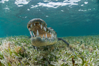 Underwater front view of crocodile on seagrass, open mouthed showing teeth, Chinchorro Atoll, Quintana Roo, Mexico 11015270007| 写真素材・ストックフォト・画像・イラスト素材|アマナイメージズ