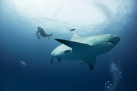 A female bull shark cruises mid water while a diver ascends on the background, Playa del Carmen, Quintana Roo, Mexico