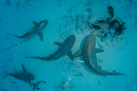 A dive master hand feeds bull sharks during the sharkエs winter migration, Playa del Carmen, Mexico