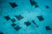 Underwater overhead view of spotted eagle rays and scuba diver casting shadows on seabed, Cancun, Mexico