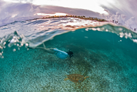 Snorkeler gets close to sea turtle in the shallows of Akumal Bay at sunset, Mexico