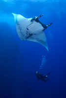 Scuba diver approaches Giant Manta (Manta Birostris)