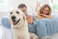 Portrait of golden retriever in front of mature couple lying on bed