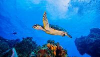 Hawksbill Turtle swimming over coral, Cozumel