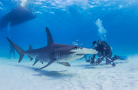 Great Hammerhead Shark swimming near seabed, diver nearby