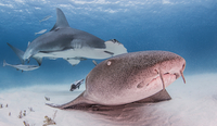 Nurse Shark with Great Hammerhead Shark behind it