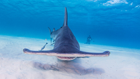 Great Hammerhead Sharks with photographer