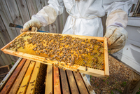 Beekeeper holding hive frame with bees, mid section