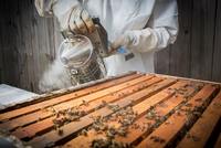 Beekeeper smoking bees in hive, mid section