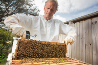 Beekeeper removing frame from beehive