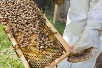 Beekeeper holding hive frame with bees, close-up