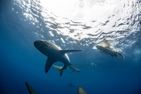 Low angle underwater view of surfer on surfboard with sharks, Colima, Mexico