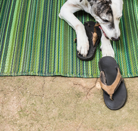 Great dane and pit bull mix chewing on flipflop