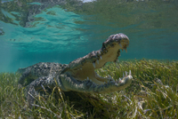 Underwater view of American crocodile (crodoylus acutus) in shallow waters of Chinchorro Atoll Biosphere Reserve, Quintana Roo,