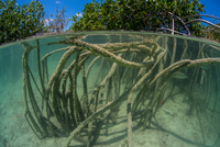 Underwater view of mangrove forest, Sian Kaan biosphere reserve, Quintana Roo, Mexico 11015286108| 写真素材・ストックフォト・画像・イラスト素材|アマナイメージズ