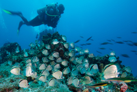 Scuba diver observes large school of barber fish, Socorro island, colima, mexico