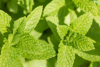 Mint leaves on mint plant