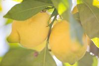 Close up of lemons in lemon tree
