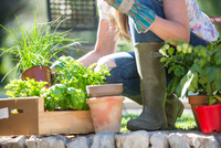 Cropped view of woman preparing herb plants in garden