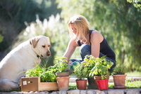 Labrador dog watching woman tending plants in garden