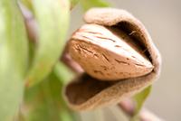 Close up of ripe almond (Prunus dulcis) in tree