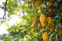 Lemon tree full of fruits