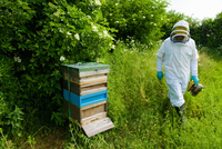 Beekeeper wearing protective clothing approaching bee hive 11015286949| 写真素材・ストックフォト・画像・イラスト素材|アマナイメージズ