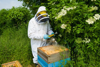 Beekeeper wearing protective clothing using bee smoker on hive 11015286950| 写真素材・ストックフォト・画像・イラスト素材|アマナイメージズ