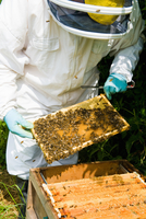 Beekeeper wearing protective clothing checking bee hive 11015286955| 写真素材・ストックフォト・画像・イラスト素材|アマナイメージズ