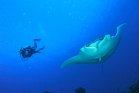Scuba diver and oceanic manta ray (manta birostris), Cancun, Mexico