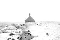 Black and white image of bull shark (carcharhinus leucas) near seabed, Playa del Carmen, Mexico