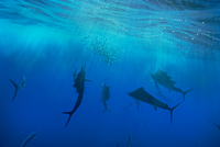School of sailfish (istiophorus platypterus) near water surface, Cancun, Mexico