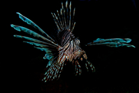Red lionfish (pterois volitans) on black background, Cancun, Mexico