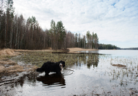 Portrait of bernese mountain dog standing in lake, Orivesi, Finland