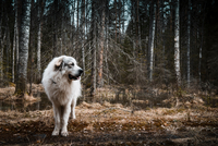 Portrait of pyrenean mountain dog standing on forest track, Orivesi, Finland
