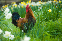 Portrait of rooster in daffodil meadow