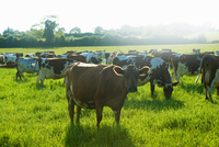 Portrait of cow and grazing herd in sunlit field